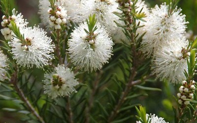 melaleuca-alternifolia-400x250