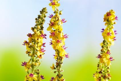 Heilpflanze, Odermenning (Agrimonia eupatoria) Agrimony, Bachblüten, Homöopathie