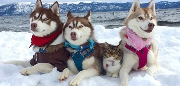 husky_cat_title-702x336