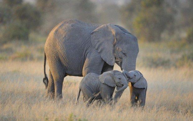 リビングルームのホーム壁の装飾布ポスターツイン赤ちゃん象アフリカamboseli国立公園自然動物