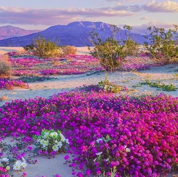 anza-borrego-flowering01