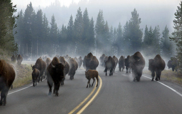 morning-rush-hour-traffic-in-yellowstone