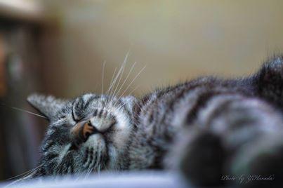 猫の糖尿病とインシュリン