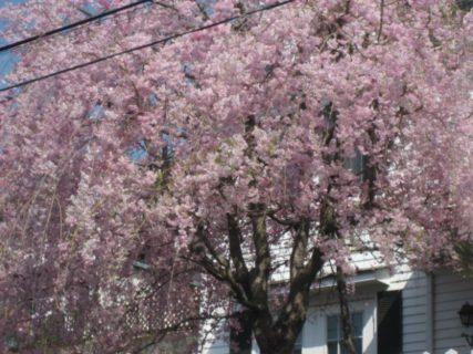 八王子の桜のセシウム量と糖鎖の力
