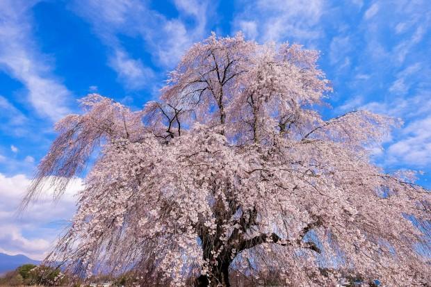 ゲリー・ボーネルさんのウォールナットな時代と桜の花粉症