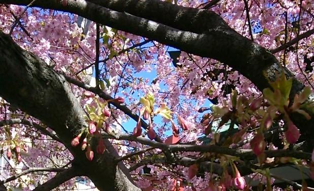 一足先に咲く河津桜の東京・神奈川スポットと粟島神社の伝承