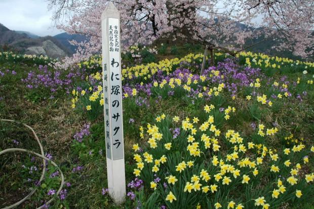 韮崎「わに塚の桜」の由来と甲斐犬の品評会