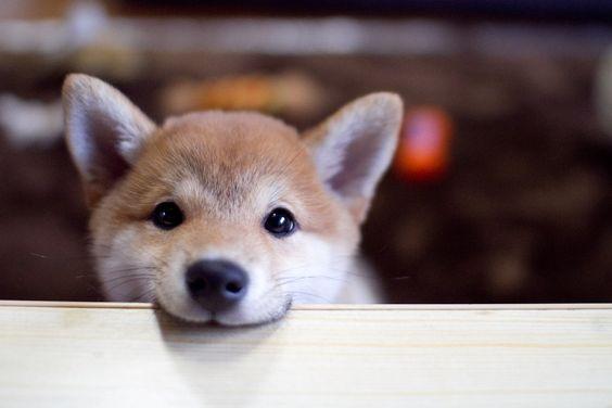 ラッキーかもしれない「柴犬になった豆柴」と日本初の「動物はごはんじゃないよ」集会