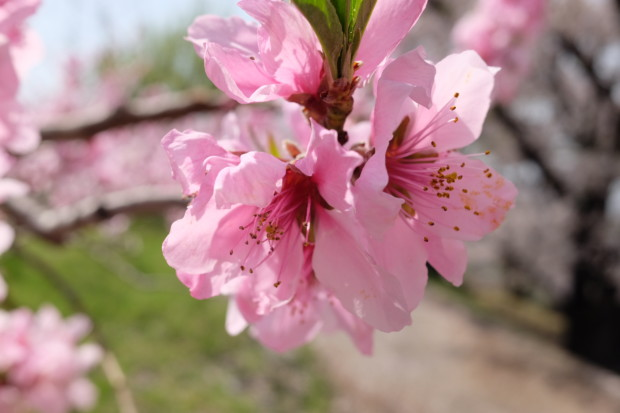 世界最古の国「日本」のルーツを知る桜と桃の共演