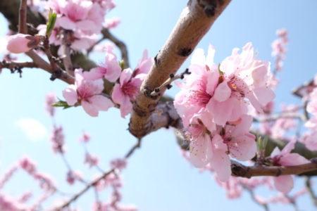 宇宙人も解明できない「桃の魔除け力」に知る人間の叡智