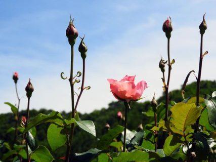 悲報・GWコロナ自粛で咲く前に刈られた「与野公園」のバラ